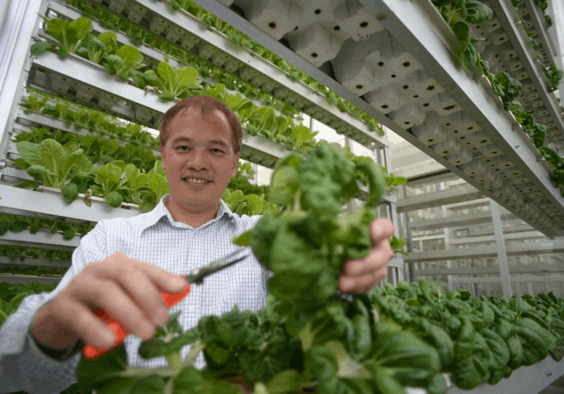 Sky Green Vertical Farming, Sky Greens Vegetables, How to start urban farming in Singapore, Urban farming Singapore volunteer