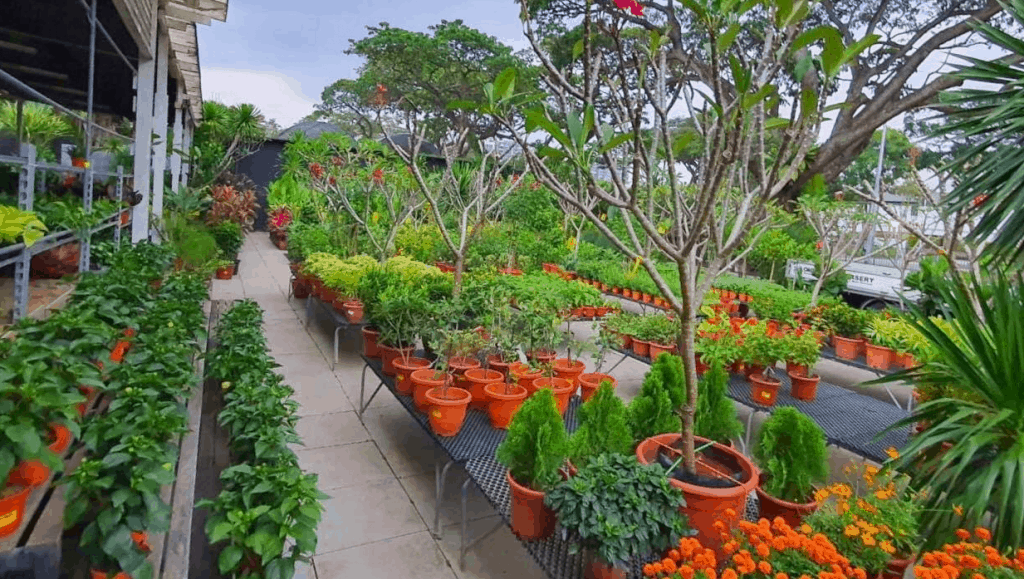 you can buy plants from Chin Ling Nursery in Singapore, Chin Ling Nursery is a Landscape services company in Singapore to build gardens and greenery, katong nursery, plant nursery singapore